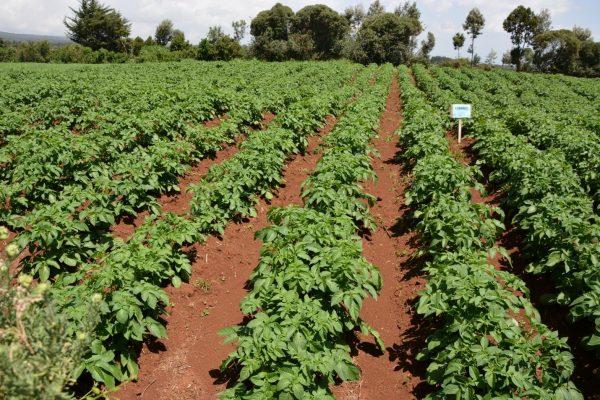 A potato field: Site selection is paramount in potato farming.